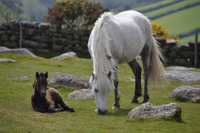 Dartmoor Pony- Outreach, DPHT.jpg